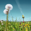 White dandelions on summer field — Stock Photo