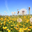 White dandelions on yellow field — Stockfoto