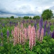 Stock Photo: Lupines on field under cloudy sky