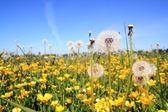 White dandelions on yellow field — Stock Photo