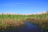 High dry reed in marsh — Stock Photo