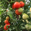 Red and green tomatoes in hothouse — Stock Photo #6914823