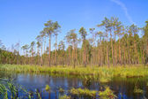 Small lake in pine wood — Stock Photo