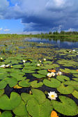 Water lilies on small lake — Stock Photo