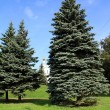 Fir trees in town park — Stock Photo #6953633