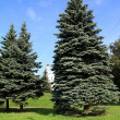 Fir trees in town park — Stock Photo