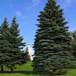 Fir trees in town park — Foto Stock