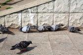 Dove on asphalt — Stock Photo