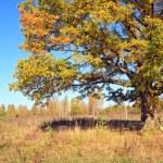 Yellow oak on autumn field — Stock Photo