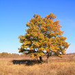 Stock Photo: Yellow oak on autumn field