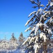 Stock Photo: Pine in snow