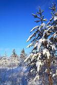 Borovice ve sněhu — Stock fotografie