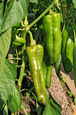 Green pepper on branch in hothouse — Stock Photo