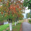 Tree of rowanberry in town park — Stock Photo