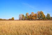 Yellow copse on autumn field — Stock Photo