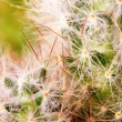 Thorns of cactus — Stock Photo