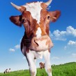 Cow on meadow. — Stock Photo #7290059