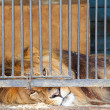 Stock Photo: Lion behind bars