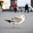 Helsinki bird — Stock Photo #7291322