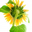 Sunflower — Stock Photo #7291515