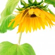 Sunflower — Stock Photo #7291516