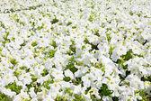 Mooie witte bloemen — Stockfoto