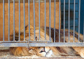 Lion behind bars — Stock Photo