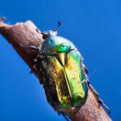Beetle on blue — Stock Photo