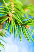 Christmas-tree branch — Stock Photo