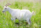 Goat in the field — Stock Photo