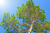Tree and blue sky — Stock Photo