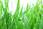 Wet Grass Isolated — Stock Photo