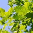 Stock Photo: Green oak leaves against blue sky