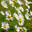 Sunny chamomile flowers close-up — Foto de Stock