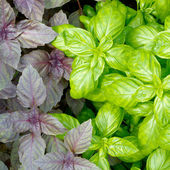 Fresh green basil leaves close-up — Stock Photo