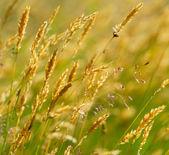 Wild yellow meadow wheat grass — Stock Photo
