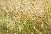 Wild yellow meadow grass — Stock Photo