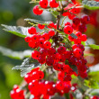 Red Currant berries on bush — Stock Photo #7565895