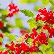 Red Currant berries on a bush — Stock Photo