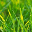 Bright vibrant green grass close-up — Stock Photo
