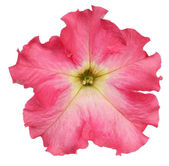 Petunia on white background — Stock Photo