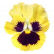 Yellow pansy on white background — Stock Photo #7278072