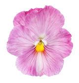 Viola-de-rosa sobre fundo branco — Foto Stock