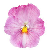 Pink pansy on white background — Stock Photo