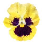 Pansy amarelo sobre fundo branco — Foto Stock