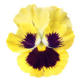 Yellow pansy on white background — Stock Photo