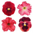 Stock Photo: Set of various red flowers on white background