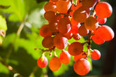 Glowing red grapes close-up — Stock Photo