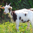 Spotted goat — Stock Photo