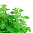 Fresh-picked mint leaves — Stock Photo